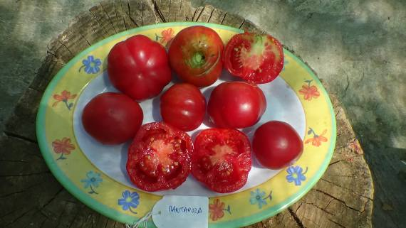 PARTICIPATORY EVALUATION OF TOMATO HERITAGE VARIETIES