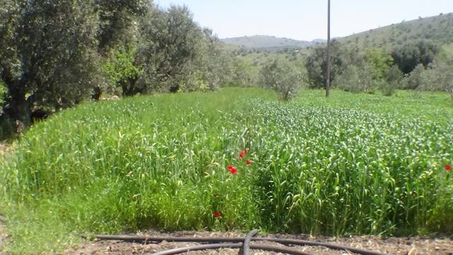 The cultivation of Limnos  old hard wheat variety  within Aegilops network